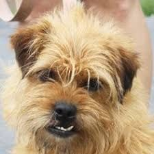 Image result for airedale terrier mix