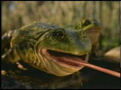 Budweiser Frogs Commercial with the frogs tongue on a truck