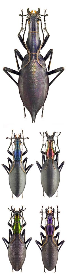Damaster blaptoides subspecies