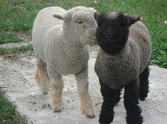 Funny Black Sheep Meme : Does she know explored baby sheep black sheep and baby alpaca
