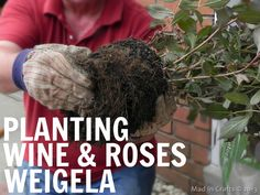 Planting Wine & Roses Weigela - Mad in Crafts