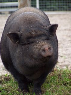 happy, pig, animal, funny, black, boar