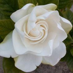 Estar aquí y ahora me permite disfrutar de esta flor su color pliegues  aroma y belleza.  La foto no transmite el sutil y delicado aroma de este jazmín....divino.  Gracias Padre el regalo de  cada día. Tus milagros están por doquier.  #kelandkinspiration #goodvibes #goodmorning #buenosdias #miracles #zen #meditation #meditacion #flowercloseup #Namaste #nature #mothernature #jazmin