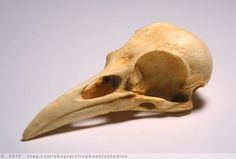 Crow Bird Skull Resin Replica- Corvus brachyrhynchos- natural patina by arcticphoenixstudios on Etsy