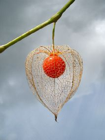Chinese Lantern (physalis alkekengi) is a fascinating plant. First, there are little white flowers that develop into fruit protected by larger, papery pods – green at first, but later becoming bright orange, perfectly resembling little Chinese Lanterns ~ it is an aggressive vining plant though.