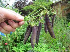 'Victorian Purple Podded' Nutritious Meals, Garden Inspiration, Victorian, Backyard, Gardening, Fresh, Vegetables, Purple, Beautiful