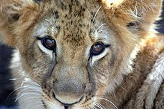 Lion cub from Zebula Golf Estate, Lion Cub, What A Wonderful World, Kitty Kitty, Wonders Of The World, Cubs, Awesome, Amazing, South Africa