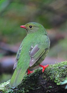 Green-and-Black Fruiteater (female)