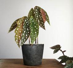 """: """"Begonia maculata"""