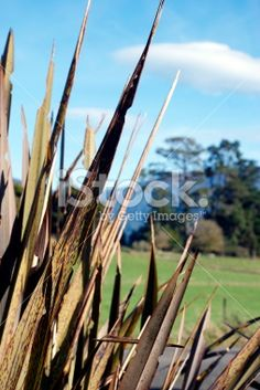 Rural Scene with Harakeke (New Zealand Flax) Royalty Free Stock Photo New Zealand Flax, Flax Plant, Image Now, Past, Royalty Free Stock Photos, Scene, Past Tense, Stage