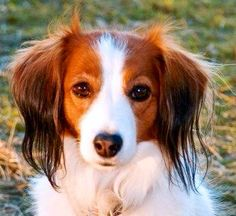 In the United Kingdom The Kooikerhondje has been removed from the import list and is now eligible to enter the  Crufts Dog Show despite there being only 76 of the breed in the United Kingdom.