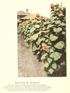 Luther Burbank: Improving the Sunflower Agricultural Science, Luther, Plants, Planters, Plant, Planting