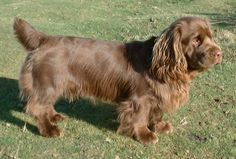 Sussex Spaniel England 35 to 45 pounds 13 to 15 inches 11 to 12 years Spaniel Breeds, Akc Breeds, Spaniel Puppies, Dogs And Puppies, Doggies, Terrier Puppies, Boston Terrier, Clumber Spaniel, Spaniels