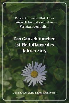 Das Gänseblümchen ist Heilpflanze des Jahres 2017 Small but nice: The daisy (medicinal plant of the year should not be underestimated! It strengthens, gives courage, can heal physical and mental injuries. Healing Herbs, Medicinal Plants, Natural Healing, Herbal Tea Benefits, Tea Blends, Indoor Garden, Herbalism, Beautiful Pictures, Medicine