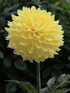 Dahlia 'Camano Sunshine'