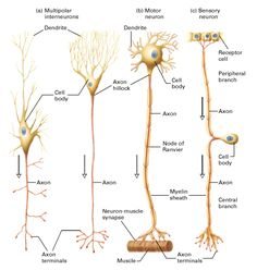 The different types of Neurons and their anatomy.different parts of the neurons we work on in lecture. Brain Anatomy, Medical Anatomy, Human Anatomy And Physiology, Nerve Anatomy, Body Anatomy, Brain Science, Medical Science, Life Science, Computer Science