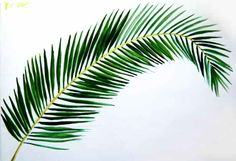 Coconut Palm Tree Leaf Picture