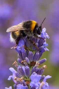 Bumblebee on purple flower - Bees ❤ - Bee Pictures, Cute Animal Pictures, Beautiful Creatures, Animals Beautiful, Cute Animals, Animal Original, Foto Macro, I Love Bees, Bee Tattoo