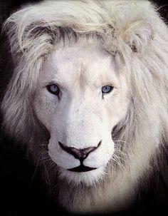 Timbvati White Lion, Linda Tucker Global White Lion Protection Trust