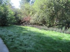 delta blue no mow Native Fescue Drought Tolerant Grass, Delta Blues, Nativity, Lawn, Backyard, Outdoor Decor, Plants, Yard Ideas, Urban