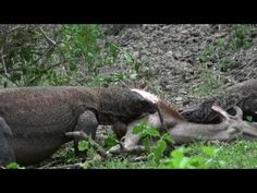 Wonderfull Komodo dragon Indonesia, find travel package at http://www.orangutantourist.com/komodo-tours