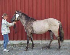 Rare Horse Colors | Discuss Rare colored horses! POST AWAY!! at the Horse Colors ... All The Pretty Horses, Beautiful Horses, Animals Beautiful, Cute Animals, Rare Horse Colors, Horse Coat Colors, Dun Horse, Horse Markings, Westerns