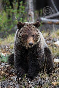 Beautiful Bear x