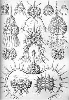 Haeckel Spyroidea - 放散虫 - Wikipedia