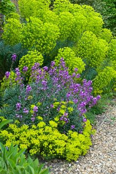 Wallflower - Erysimum 'Bowles Mauve' and Erysimum 'Bowles mauve'. Both for front garden options. The Euphorbia is a good large shrub - for the front - in the larger bed. The Erysimum would also work in the back garden. Euphorbia, Plants, Gorgeous Gardens, Garden Shrubs, Outdoor Gardens, Dream Garden, Garden Planning, Beautiful Gardens, Garden Plants