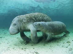 The manatee is now often called the sea cow, as it is the only marine mammal, along with the dugong, that grazes plants (mostly). Beautiful Creatures, Animals Beautiful, Manatee Florida, Florida Dolphins, Baby Animals, Cute Animals, Funny Animals, Sea Cow, Exotic Fish