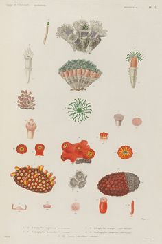 Hand-coloured illustrations of invertebrate marine animals from the phylum Mollusca, collected during a French expeditionary voyage in the 1820s, via Bibliodyssey