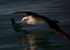 Laysan Albatross over water.