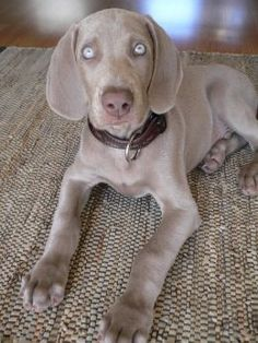 Google Image Result for http://dogbreedtrainings.com/wp-content/uploads/2012/01/Weimaraner-puppies-10.jpg