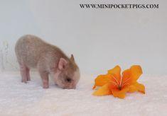 Mini & Micro Juliana Baby Pigs For Sale - Mini Pocket Pigs : Mini Pocket Pigs Baby Pigs For Sale, Mini Pigs For Sale, Cute Baby Pigs, Pets For Sale, Micro Piglets, Baby Piglets, Baby Animals, Funny Animals, Cute Animals
