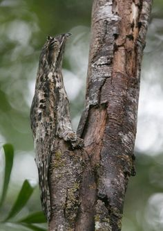 Frogmouth - master of camouflage