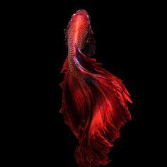 Red betta fish - Red betta fish, siamese fighting fish on black background