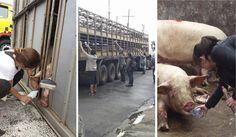 Ação Pelos Direitos dos Animais: Acidente com porcas no Rodoanel gera comoção e uni...