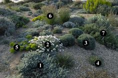 1 : Artemisia lanata  2 : Rhodanthemum hosmariense  3 : Santolina rosmarinifolia  4 : Dianthus anatolicus  5 : Euphorbia myrsinites  6 : Asphodelus fistulosus  7 : Salvia 'Bee's Bliss'