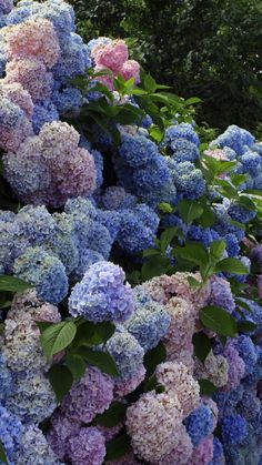 Download Wallpaper 720x1280 Hydrangea, Flower, Shrub, Wall, Green Samsung Galaxy S3 HD Background