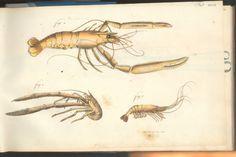 Herbst Crabs & Lobsters Plate XXVII