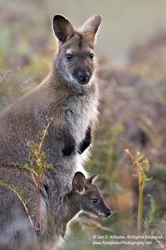Red-necked Wallaby (Macropus rufogriseus) - Tasmania by Anaspides Photography - Iain D. Williams*