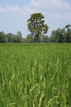 Paddy Fields in Kurunegala, Sri Lanka
