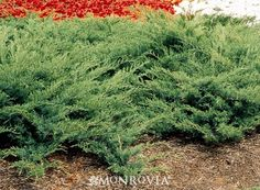 Arcadia Juniper  Juniperus sabina 'Arcadia'. Very durable landscape plant. Lacy foliage on its semi-spreading form makes a terrific mounded groundcover used on a large scale. Also versatile for use in rock gardens and borders. Evergreen.