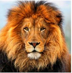 I'm A LEO. The one who worships the Sun. Colors: Gold & Orange. Powerful Sign Months: July-August. I love being a LEO