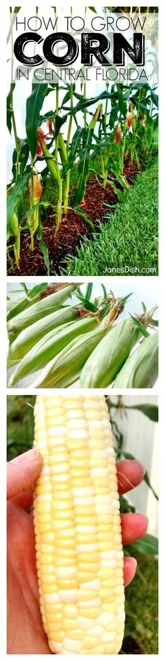 How To Grow Corn in Central Florida! From one beginner to another - this how-to guide will show you all the steps to a successful corn harvest!