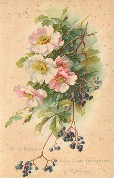 Some beautiful Catherine Klein florals here in addition to this one, Wild Roses and Elderberries Floral Image, Vintage Art, Botanical Illustration, Botanical Prints, Flower Art, Floral Art, Watercolor Flowers, Catherine Klein, Vintage Illustration