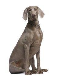 Weimarse Staande Hond korthaar