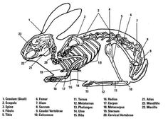 rabbit anatomy for class Rabbit Anatomy, Rabbit Skeleton, Skeleton Anatomy, Animals Information, Bunny Painting, Yarn Painting, Animal Skeletons, Bunny Care, Skeletal System