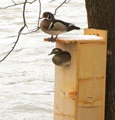 Wood duck nest box diy for wild birds pinterest nest box nest wood duck nest box publicscrutiny Choice Image