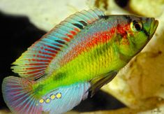 haplochromis | Haplochromis aeneocolor